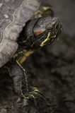 Testa della tartaruga Immagine Stock Libera da Diritti