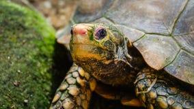 Testa della tartaruga Immagine Stock
