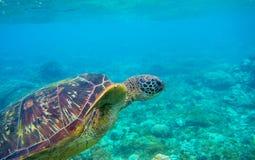 Testa della tartaruga verde e foto subacquea delle alette Primo piano della tartaruga di mare Animale oceanico in natura selvaggi fotografia stock libera da diritti