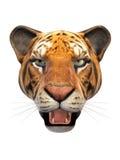Testa della tigre su fondo bianco Fotografie Stock Libere da Diritti
