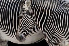 Testa della zebra immagine stock