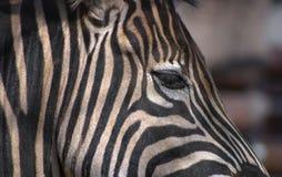Testa della zebra Immagini Stock