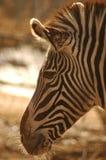 Testa della zebra Fotografia Stock