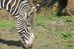 Testa della zebra Fotografie Stock