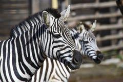 Testa della zebra Immagine Stock Libera da Diritti