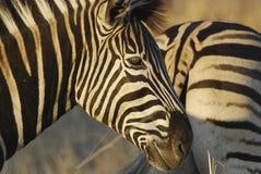 Testa della zebra all'indicatore luminoso di tramonto Immagini Stock Libere da Diritti