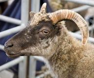 Testa delle capre Fotografia Stock