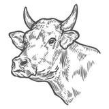 Testa delle mucche Schizzo disegnato a mano in uno stile grafico Illustrazione d'annata dell'incisione di vettore Immagini Stock Libere da Diritti