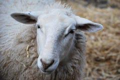 Testa delle pecore fotografia stock