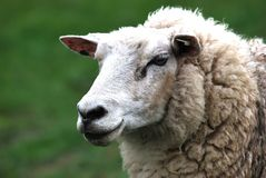 Testa delle pecore immagini stock libere da diritti