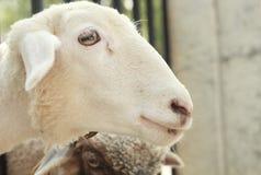 Testa delle pecore immagini stock
