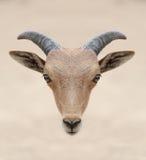Testa delle pecore di barbary Fotografie Stock