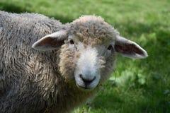 Testa delle pecore sveglie Immagine Stock Libera da Diritti