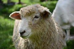 Testa delle pecore sveglie La pecora mastica l'erba Fotografie Stock