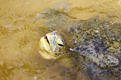 Testa delle tartarughe verdi Immagini Stock Libere da Diritti