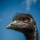 Testa dello struzzo con l'occhi rossi Fotografia Stock Libera da Diritti