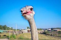 Testa dello struzzo con la bocca aperta alla campagna dell'azienda agricola Fotografia Stock Libera da Diritti
