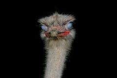 Testa dello struzzo nello scuro Fotografia Stock