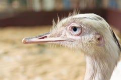 Testa dello struzzo sudamericano fotografie stock libere da diritti