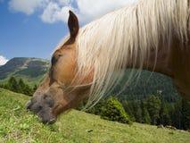 Testa di alimentazione del cavallo del haflinger Immagine Stock Libera da Diritti