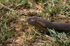 Testa di Anacondaâs nell'erba che sibila Fotografie Stock Libere da Diritti