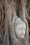 Testa di arenaria Buddha nelle radici dell'albero Fotografie Stock