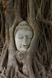 Testa di arenaria buddha nelle radici dell'albero di bodhi Immagini Stock