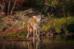 Testa di aumenti dei latrans del canis del coyote da urlare Fotografia Stock Libera da Diritti