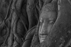 Testa di Buddha all'albero ed Ayutthaya storici Fotografia Stock