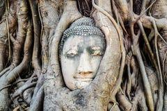 Testa di Buddha del dettaglio nelle radici dell'albero Fotografie Stock