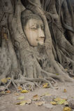 Testa di Buddha embeded nell'albero di banyan fotografia stock libera da diritti
