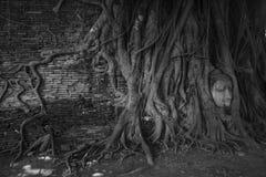 Testa di Buddha in un albero, Ayutthaya Immagini Stock