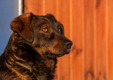 Testa di cane 2 Fotografia Stock Libera da Diritti