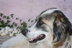 Testa di cane Immagini Stock