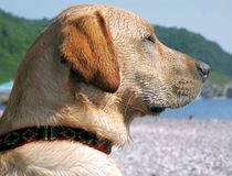 Testa di cane Immagine Stock