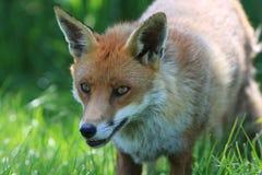Testa di cane di Fox Fotografie Stock