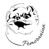 Testa di cane di Pomeranian Fotografie Stock Libere da Diritti