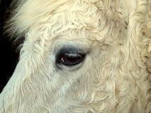 Testa di cavalli Immagine Stock