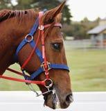 Testa di cavalli che mostra i suoi denti immagini stock libere da diritti