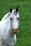 Testa di cavallo Immagini Stock