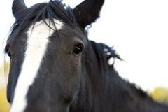 Testa di cavallo Fotografie Stock
