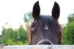 Testa di cavallo Immagine Stock
