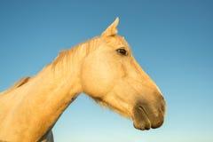 Testa di cavallo al tramonto - effetto del fisheye fotografie stock libere da diritti