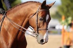 Testa di cavallo alla luce solare di mattina Immagini Stock