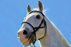 Testa di cavallo bianco Fotografia Stock