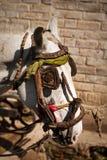 Testa di cavallo bianco nordica dell'India con la briglia locale tradizionale, Kashmir Fotografie Stock