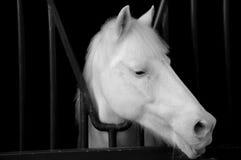 Testa di cavallo bianco sul nero Fotografie Stock Libere da Diritti