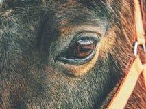 Testa di cavallo di Brown Il cavallo cammina in azienda agricola fotografia stock libera da diritti