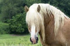 Testa di cavallo da tiro fotografia stock libera da diritti