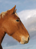 Testa di cavallo del punzone della Suffolk Fotografie Stock Libere da Diritti